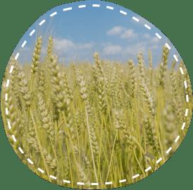 国産小麦100%パン